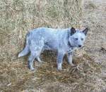 Jillaroo. female. silver/blue. 18in tall 40 lb. out of Leamer & Charlie