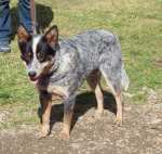 Brumby. male. blue roan. 20in 50lb. Australian imported stock & American working ranch dog stock