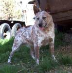 Crockett. male. 18in 40p red mottled.  out of Acme & Custer