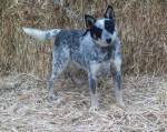 Ringer. female blue mottled. 16in 35lb out of Angel & Charlie