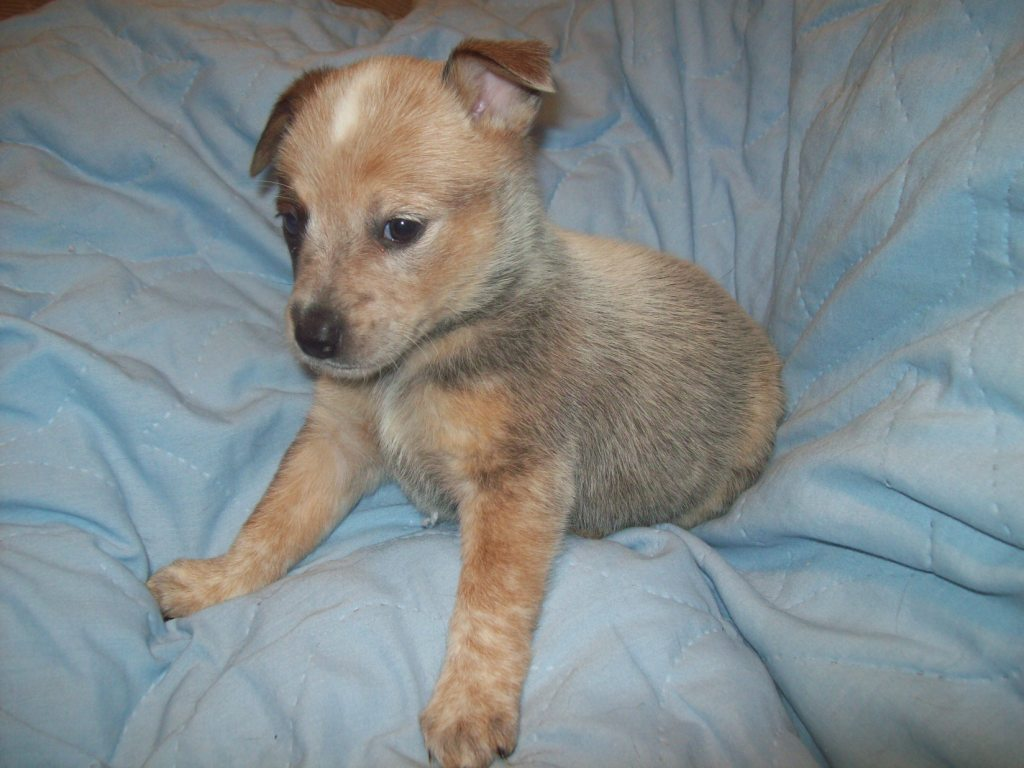 the gallery for gt red heeler newborn puppies