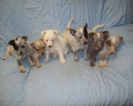 example of colored puppies