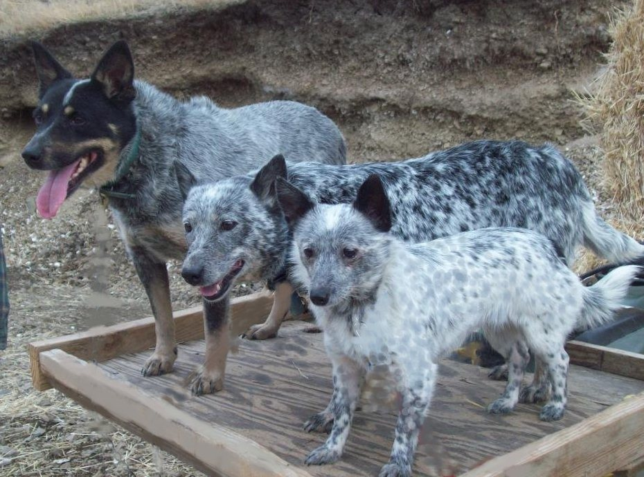 Rare Dogs For Sale In Texas