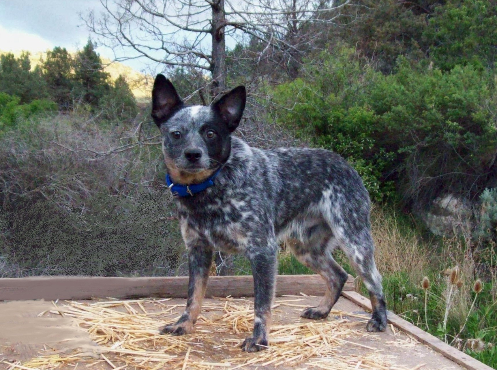 Blue Heelers For Sale : 3 mini and toy heelers rightwayranch@hotmail.com